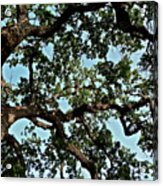 Oak Tree Three Acrylic Print