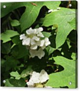Oakleaf Hydrangea Floral Acrylic Print