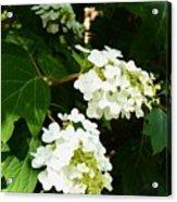 Oakleaf Hydrangea Acrylic Print