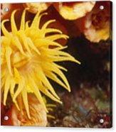 Oange Cup Coral, Tubastraea Coccinea Acrylic Print