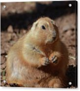 Obese Prairie Dog Sitting In A Pile Of Dirt Acrylic Print
