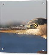 Observant Eye - Heron Portrait Acrylic Print