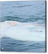 Ocean Sunfish Acrylic Print