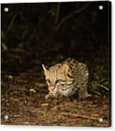 Ocelot Crouching At Night Looking For Food Acrylic Print
