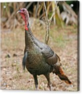 Oceola Turkey Acrylic Print