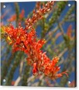 Ocotillo Blossomj Acrylic Print
