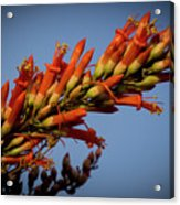 Ocotillo Flower Acrylic Print
