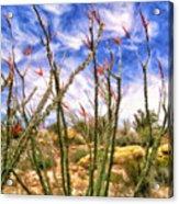 Ocotillos In Bloom Acrylic Print