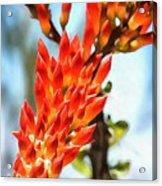 Octillo Flower. Acrylic Print