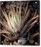 Octo Cacti Acrylic Print