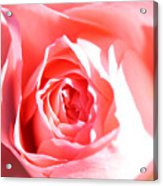 October Rose Close Up Acrylic Print
