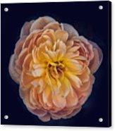 October Rose Acrylic Print