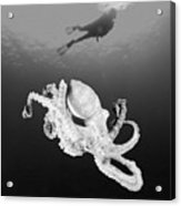 Octopus And Diver - Bw Acrylic Print