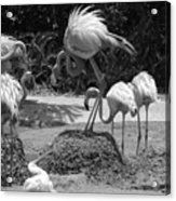 Odd Bird Out In Black And White Acrylic Print