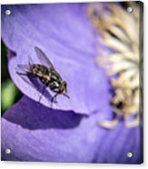 Odd Fly On Clematis Acrylic Print