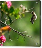 Odd Pose - Hummingbird Acrylic Print
