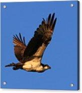 Osprey Flying By Acrylic Print