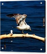 Off You Gull Acrylic Print