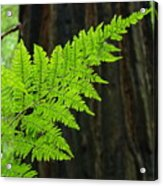 Office Art Ferns Art Redwood Tree Forest Fern Giclee Prints Baslee Troutman Acrylic Print