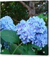 Office Art Hydrangea Flowers Blue Giclee Prints Floral Baslee Troutman Acrylic Print