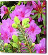 Office Art Pine Conifer Pink Azalea Flowers 38 Azaleas Giclee Art Prints Baslee Troutman Acrylic Print