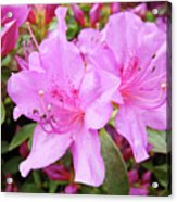 Office Art Pink Azalea Flower Garden 3 Giclee Art Prints Baslee Troutman Acrylic Print