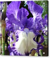 Office Art Prints Irises Purple White Iris Flowers 39 Giclee Prints Baslee Troutman Acrylic Print