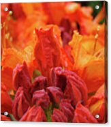 Office Art Prints Orange Azaleas Flowers 9 Giclee Prints Baslee Troutman Acrylic Print
