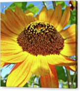 Office Art Prints Sunflowers Giclee Prints Sun Flower Baslee Troutman Acrylic Print