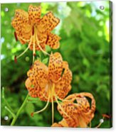 Office Art Prints Tiger Lilies Flowers Nature Giclee Prints Baslee Troutman Acrylic Print