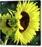 Office Art Sun Flowers Sunlit Sunflower Giclee Baslee Troutman Acrylic Print