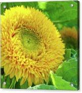 Office Art Sunflower Sun Flowers Giclee Baslee Troutman Acrylic Print