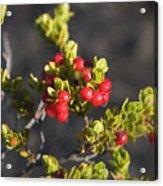 Ohelo Berries Acrylic Print