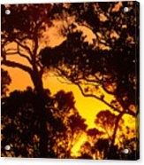 Ohia Trees At Sunset Acrylic Print