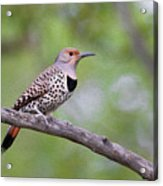 Oil Painted Northern Flicker Acrylic Print