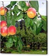 Okanagan Apricots Acrylic Print