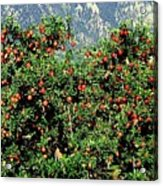 Okanagan Valley Apples Acrylic Print