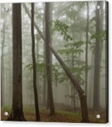 Old Beech Forest Acrylic Print