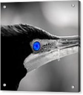 Old Blue Eyes Is Back Acrylic Print