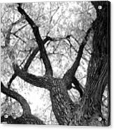 Old Cottonwood Tree Acrylic Print