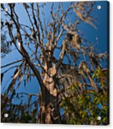 Old Cypress Acrylic Print