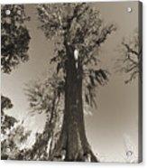 Old Cypress Tree Acrylic Print