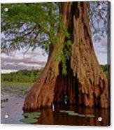 Old Cypress Trunk Acrylic Print