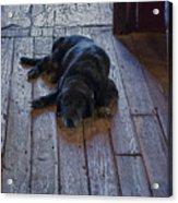 Old Dog Old Floor Acrylic Print