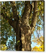 Old Elm Trunk In The Park Acrylic Print