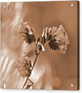 Old Fashioned Wild Flowers  Acrylic Print