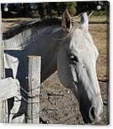 Old Grey Mare Acrylic Print