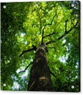 Old Growth Acrylic Print