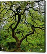 Old Japanese Maple Tree Acrylic Print