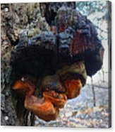 Old Man In A Tree Acrylic Print